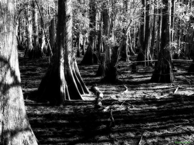 """Cypress Mystery"" © Peter Barker, 2011. CC BY-NC-ND 2.0."