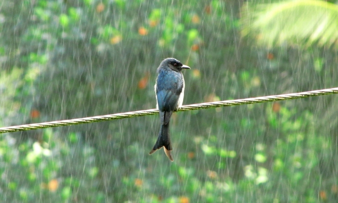 """Drongo bird in the rain"" © uditha wickramanayaka, 2014. CC BY 2.0."